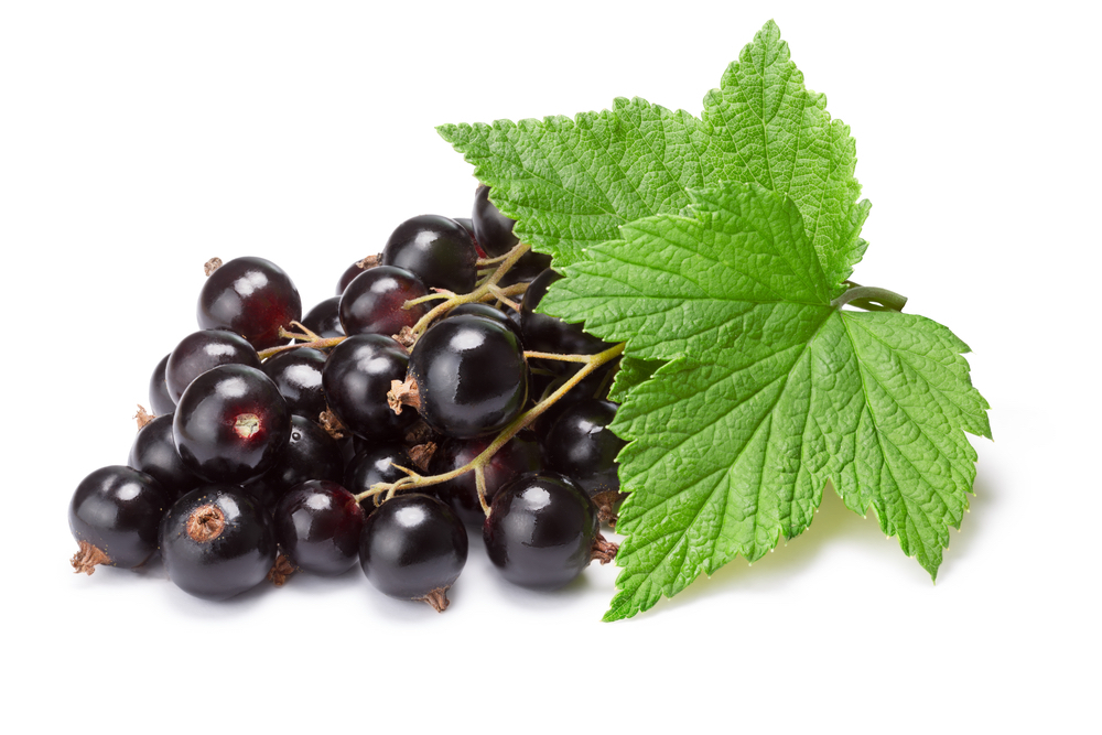 black-current leaf and berries as is used in synofit product with green-lipped mussel